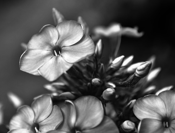 Black and White Flower Study 3
