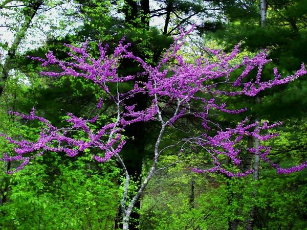 pink flowered tree