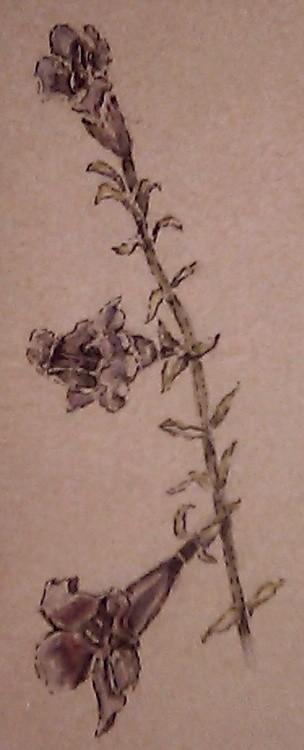 Cape Honeysuckle Watercolor