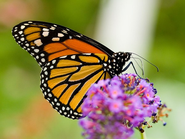 ROUNDUP IS KILLING OUR MONARCH BUTTERFLIES WHICH..