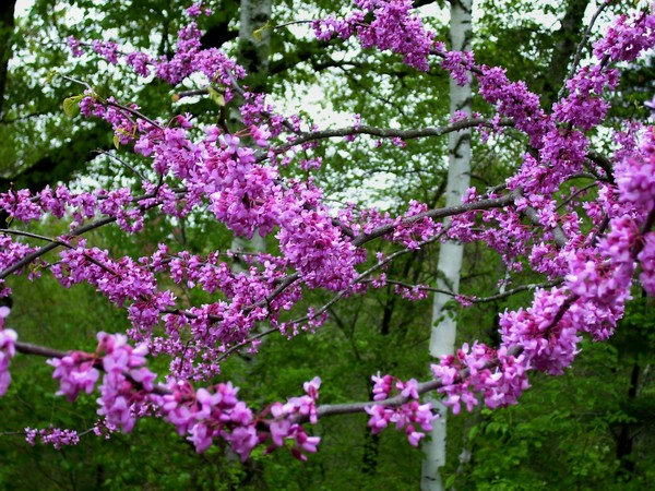more of pink flowered tree