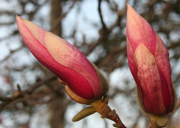 Beauty in Store: Magnolia Buds