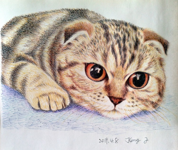 portrait of Scottish Fold cat