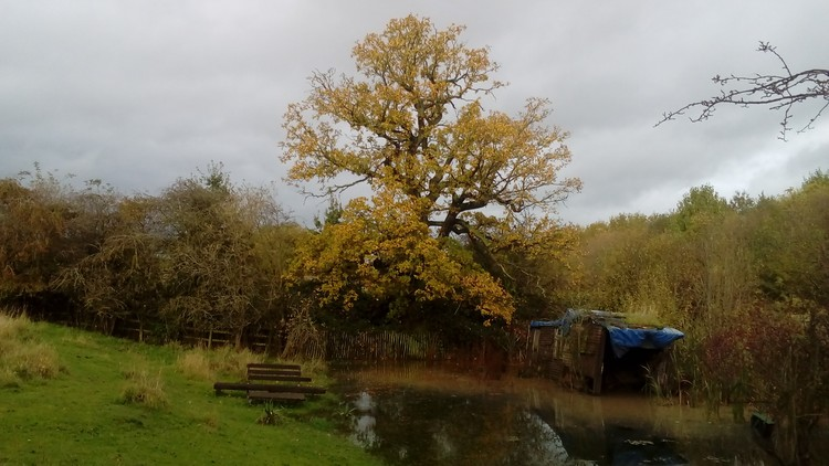 Very old oak tree in Autumn colours.