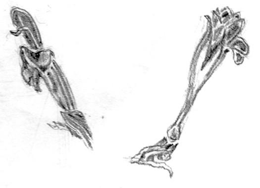 Penstemon Sketches
