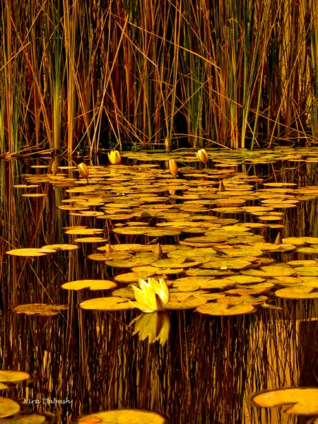 The Golden Pond of the Waterlilies