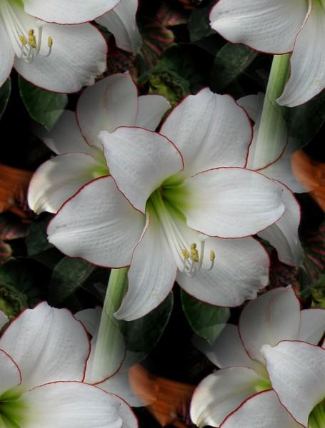 White Lilies (Three)