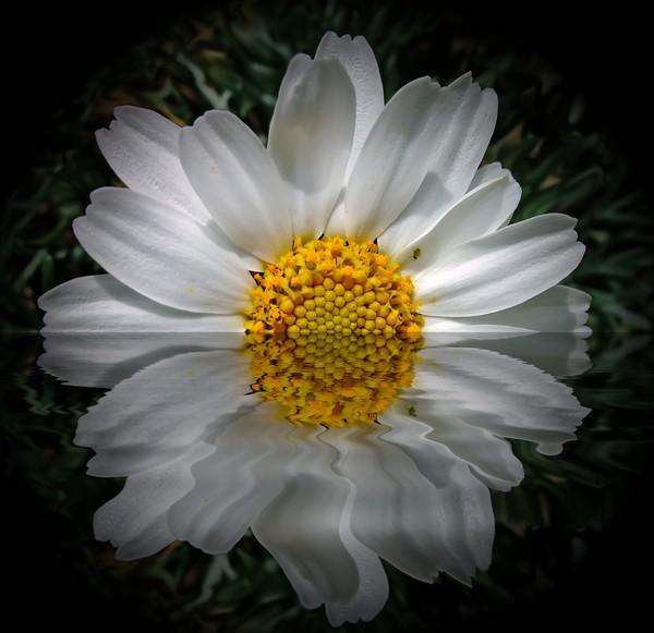 daisy reflection