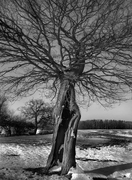 SPLIT TREE (WITH SNOW)