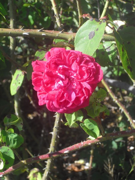Botanical Garden Roses