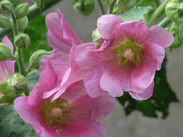 Pink Blooms & Buds