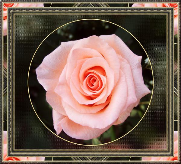peachrose framed