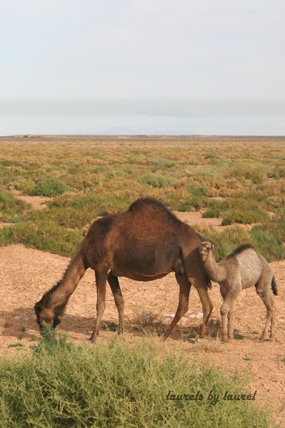Camels on the edge of the Sahara