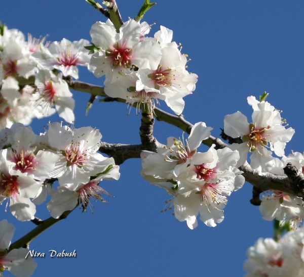 Flowers of the Almond Tree