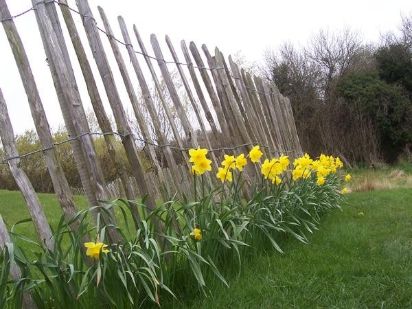 Irish Tulips