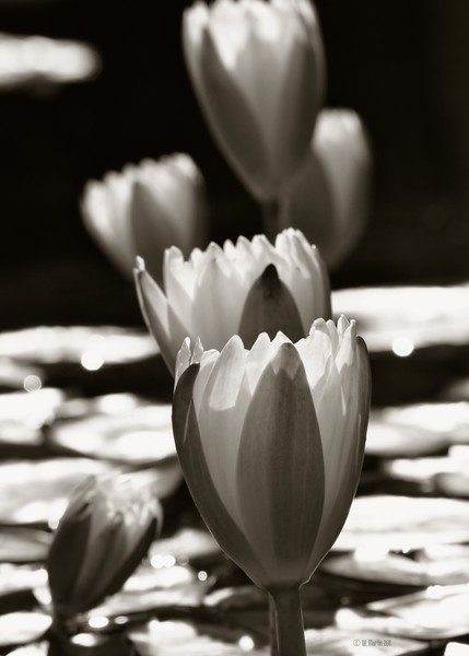 Water Lily's in Sepia