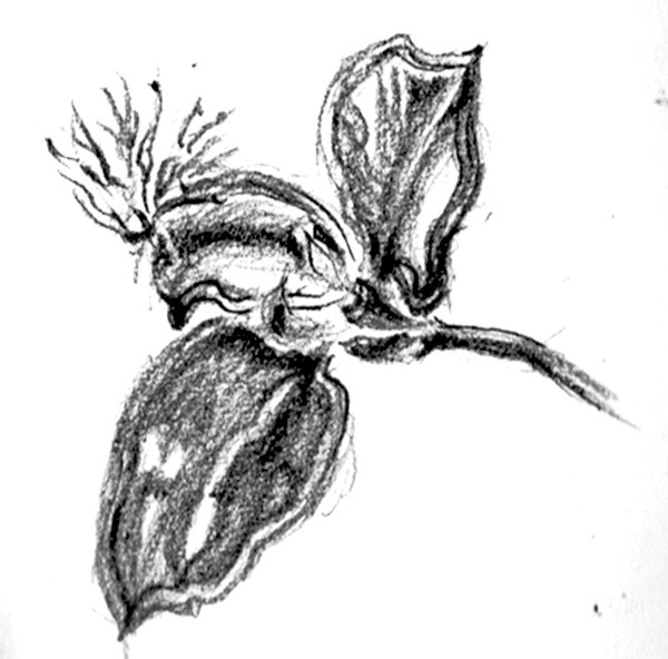Epidendrum Orchid Sketch