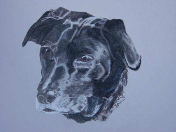 Old Black Labrador Dog