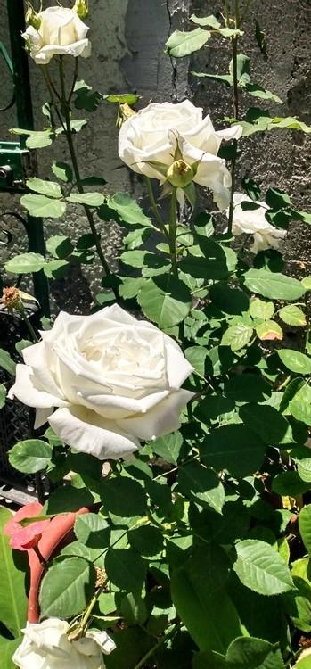 KAREN MURO MY GRANDMOTHER'S WHITE ROSES