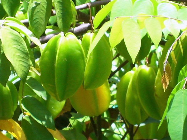the name carambola or fruit star