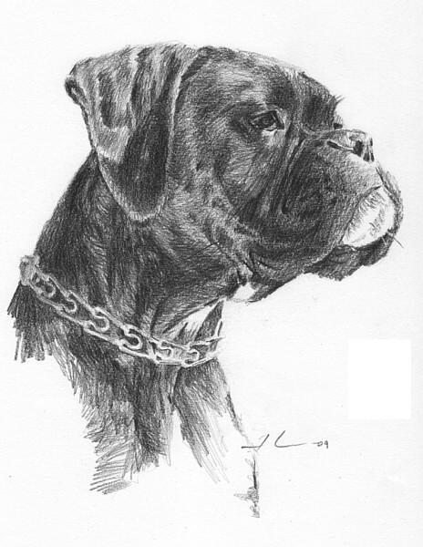 wp-lg boxer dog portrait