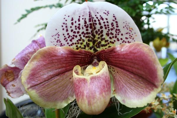 Bulldog Slipper Orchid