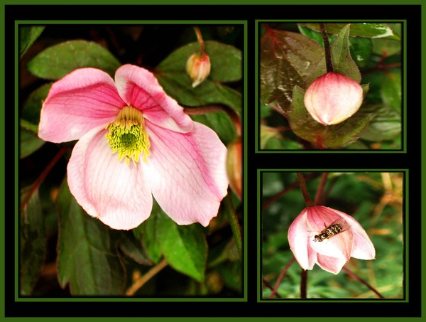 the life of a clematis flower