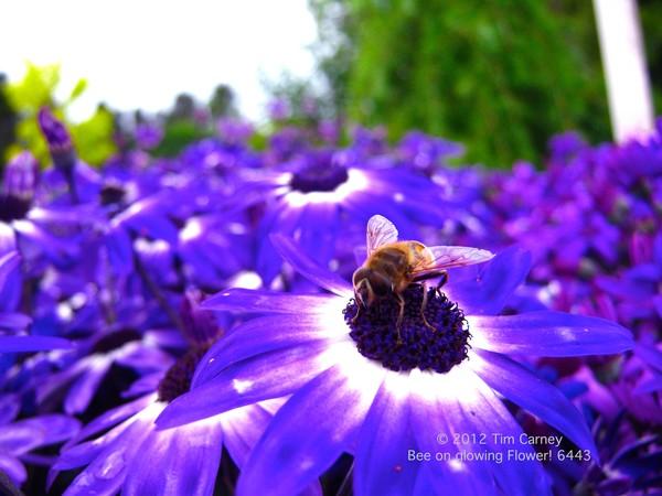 Bee on Glowing Flower 6443