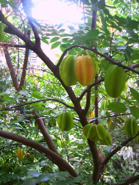 fruit tree in my farm.. the name carambola or frui