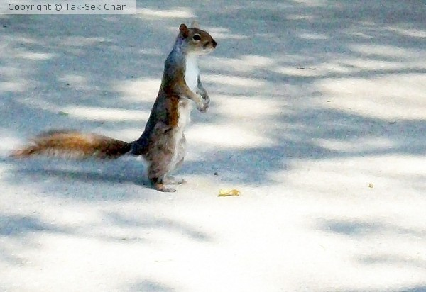 A standing squirrel