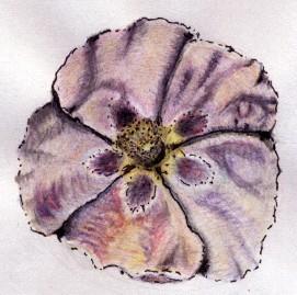 Opium Poppy Drawing