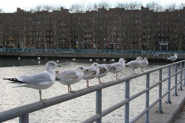 SEA GULLS AT ATTENTION