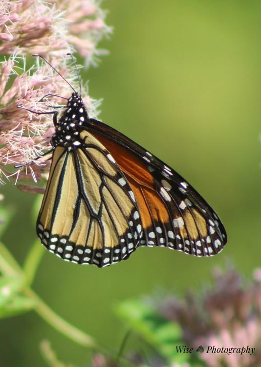 Butterfly- 1