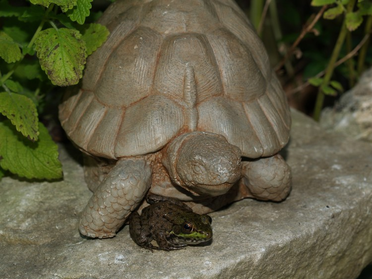 Tortoise and frog