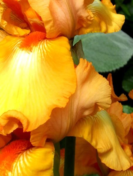 Golden Iris (Two)