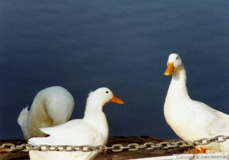 Ducks deciding to go in the water Lexington, Ky