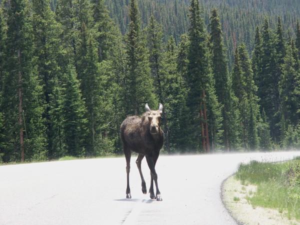 Ms Moose