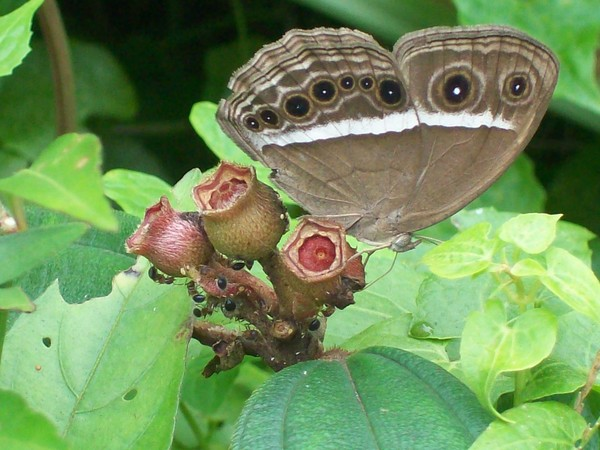 Brown Buterfly