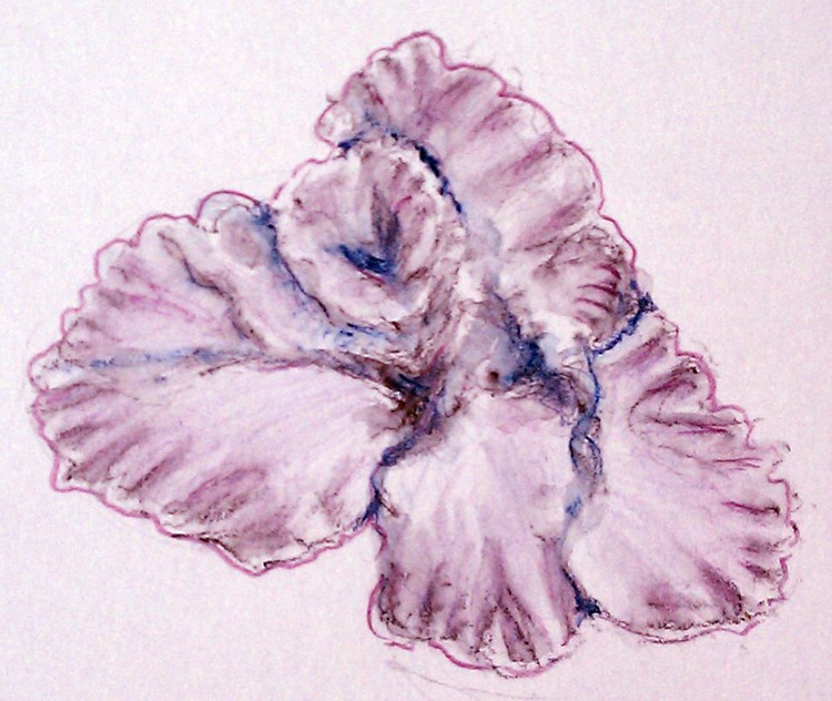 Gladiola Sketch