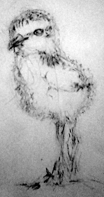 Baby Snowy Plover Sketch