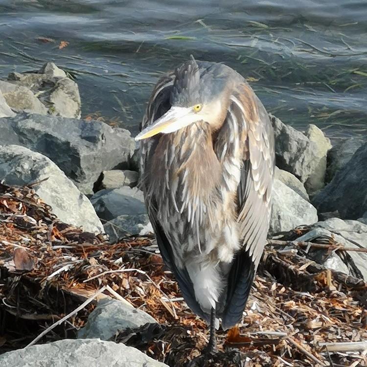 An American Heron