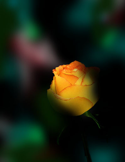 In the Shadow of a Rose