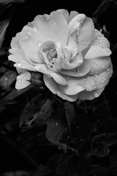 B/W Rose 2