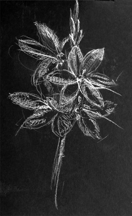 Hesperantha Drawing