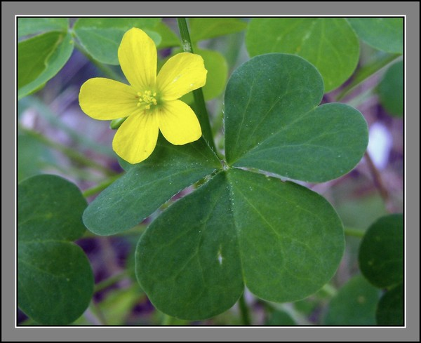 The Blossom And Clover Leaf