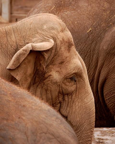 Baby Elephant, Chester Zoo