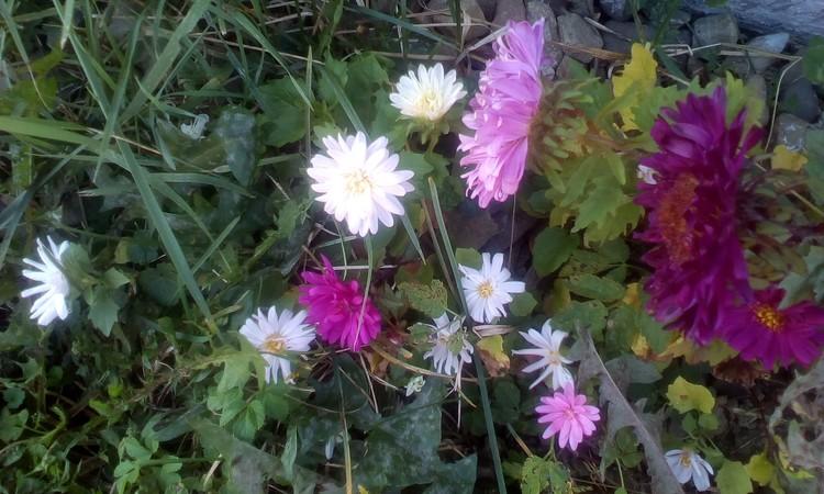 Small Chrisanthemums