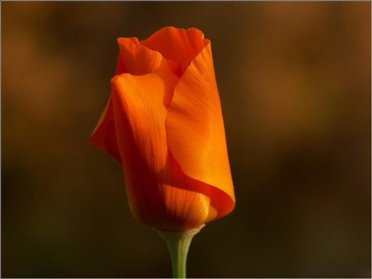 California Poppy Sunset