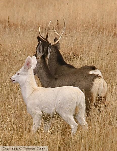 Albino with Doe & Buck