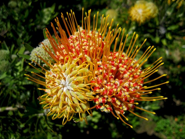 Protea Cluster 1
